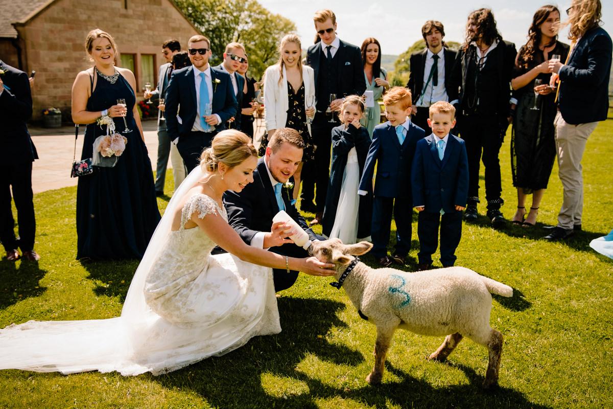 Bride feeding the newborn lambs